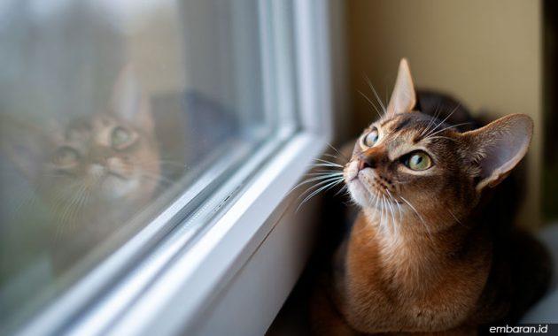 Kucing Abisinia
