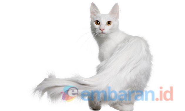 Mengenal Kucing Anggora Dan Cara Perawatannya Yang Wajib Diketahui Embaran Id