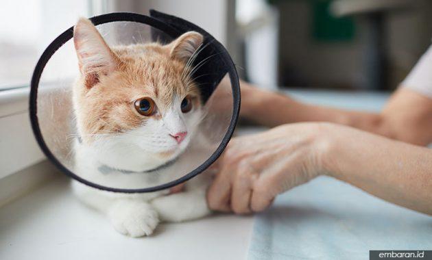 Kucing Domestik