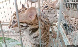 Kucing Hutan Kalimantan