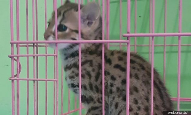 Kucing Hutan Sumatera