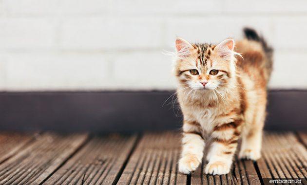 Kucing Siberia
