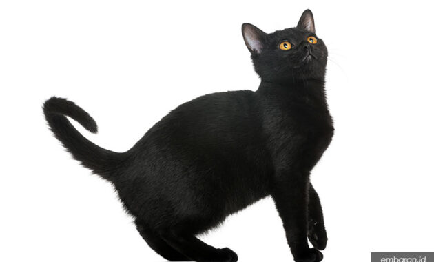 Kucing bombay