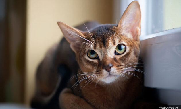 harga kucing abyssinian