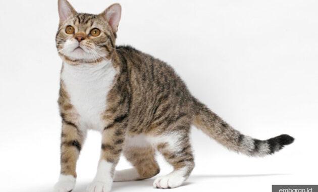 Kucing bulu dawai amerika