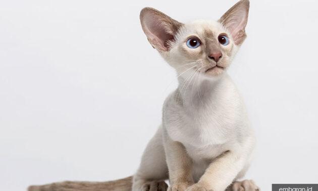 Kucing bulu pendek oriental