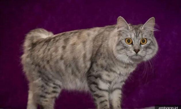 Kucing cymric