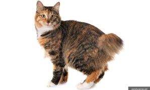Kucing ekor bundel jepang