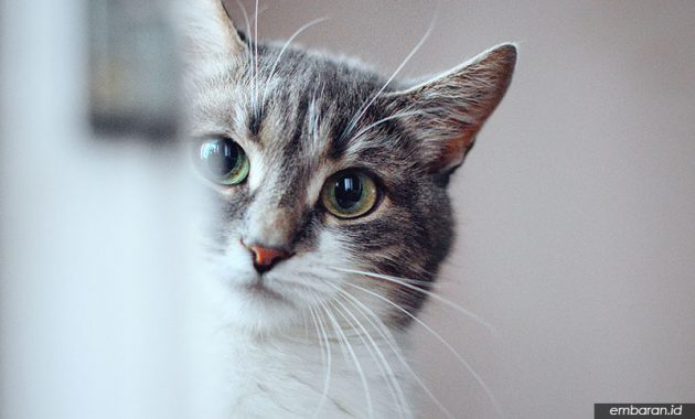 Kucing Liar