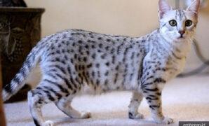 Kucing mau mesir
