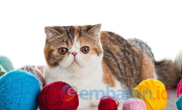kucing eksotis