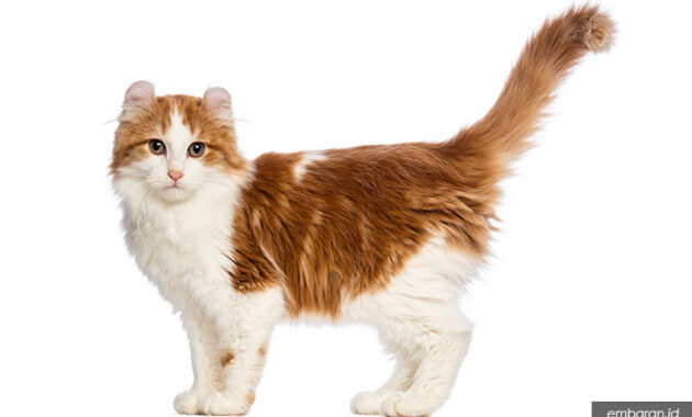 Kucing telinga ikal amerika