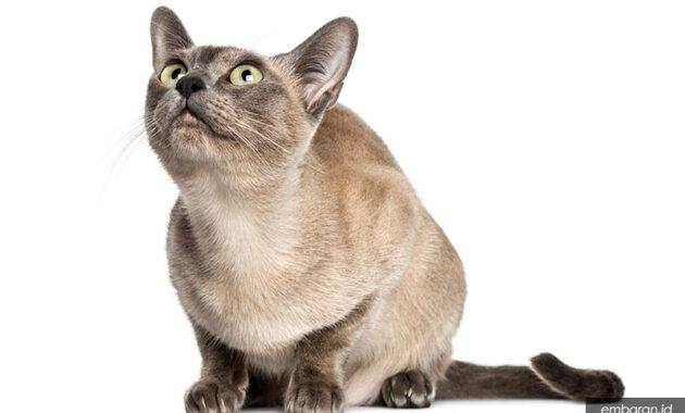 Kucing tonkin