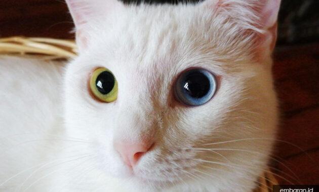 Kucing van