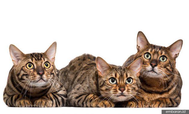 Harga Kucing Bengal
