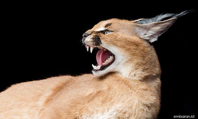 Harga Kucing Caracal