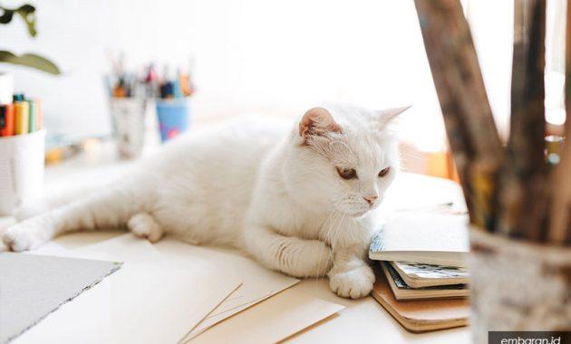 Jenis Kucing Kampung Langka Kucing Putih