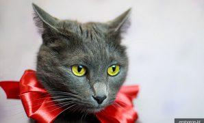 Kucing Abu Abu