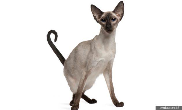 Kucing Bali