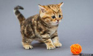 Kucing Marble