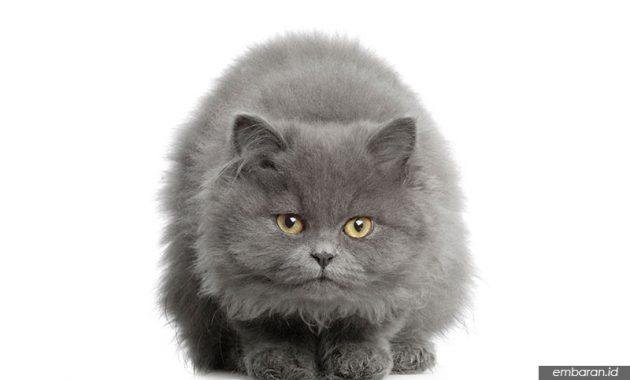 Kucing Persia Abu Abu