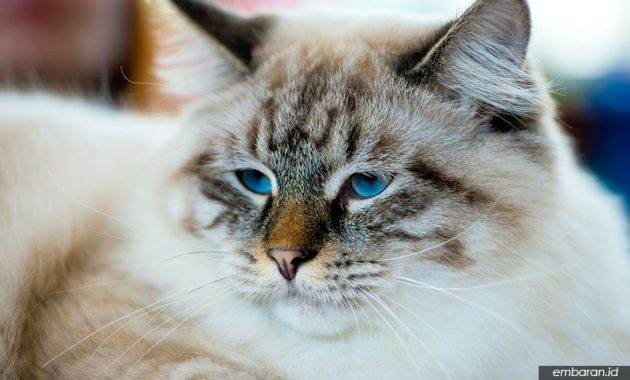 Kucing Ragamuffin