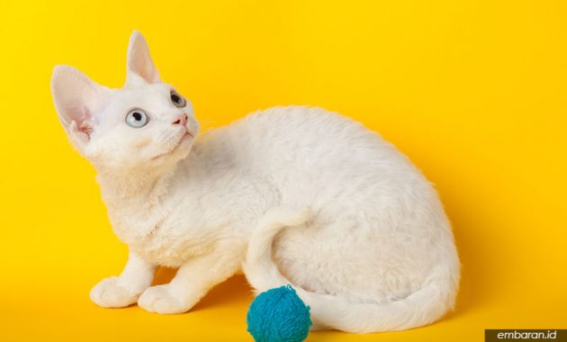 Kucing Revon Rex
