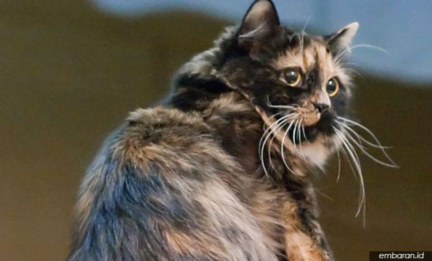 Wikipedia: Kucing Cymric
