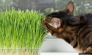 Kucing bengal mix kampung