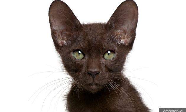 Kucing havana