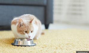 Susu manusia yang cocok untuk kucing