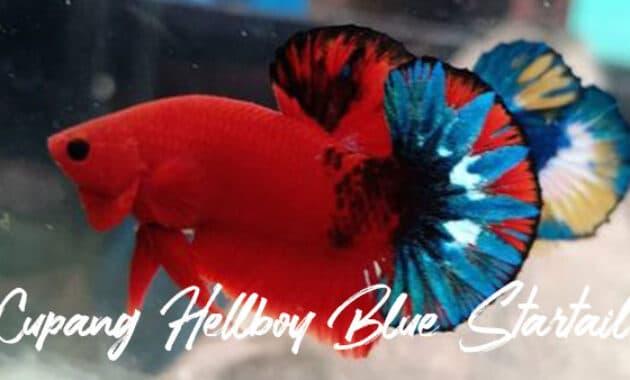 Cupang Hellboy Blue Startail