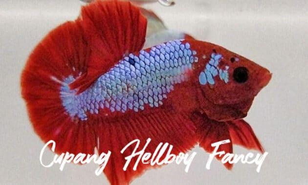 Cupang Hellboy Fancy