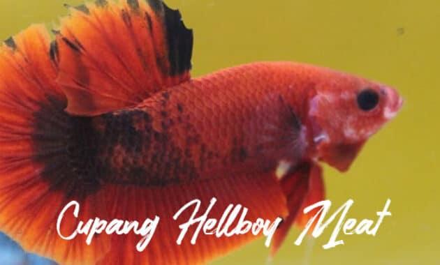 Cupang Hellboy Meat