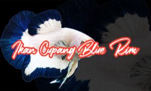 Ikan Cupang Blue Rim