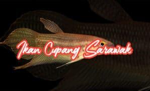 Ikan Cupang Sarawak
