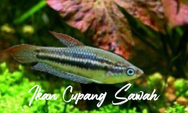 Ikan Cupang Sawah