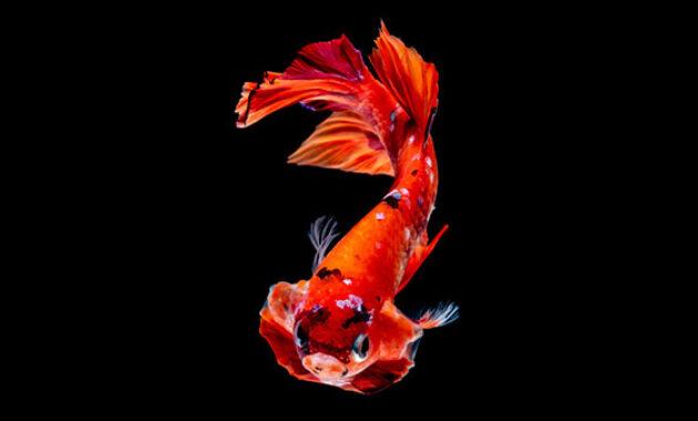 Ikan Cupang Nemo