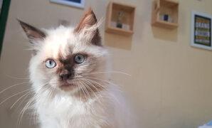 Perawatan kucing himalaya