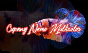 Ikan Cupang Nemo Multicolor