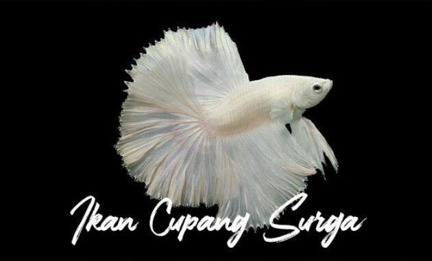 Ikan Cupang Surga
